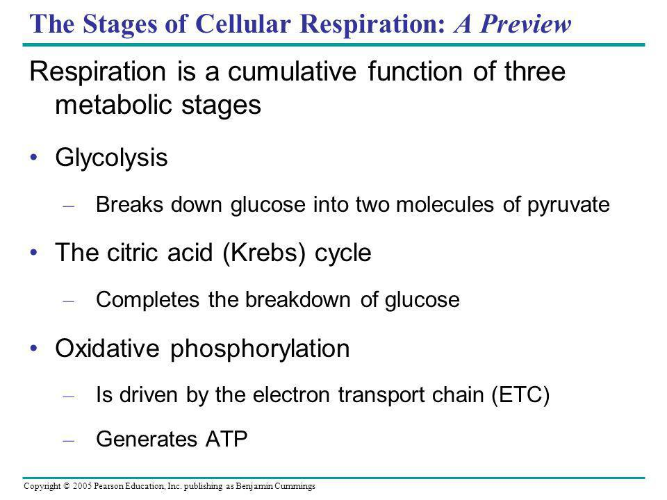 The Stages of Cellular Respiration: A Preview