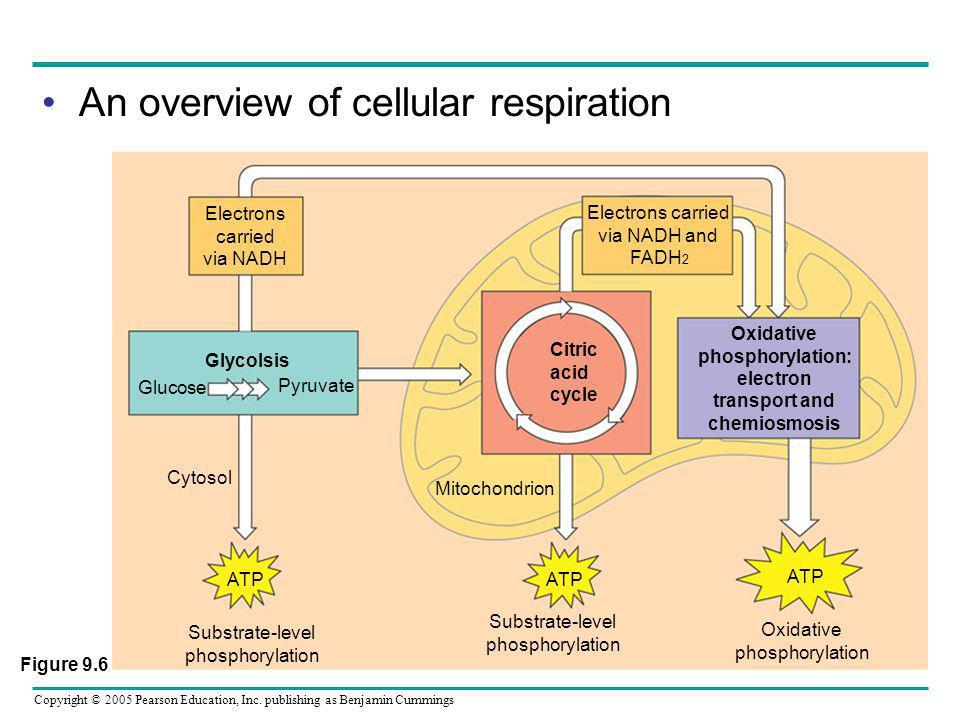 Oxidative phosphorylation: electron transport and chemiosmosis
