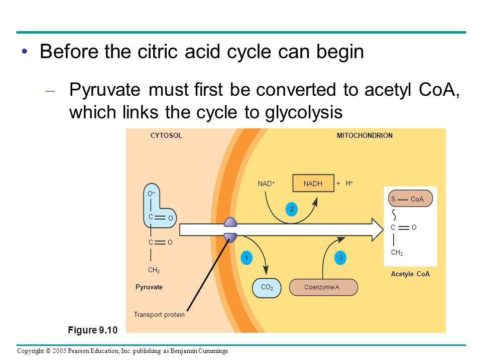 Before the citric acid cycle can begin