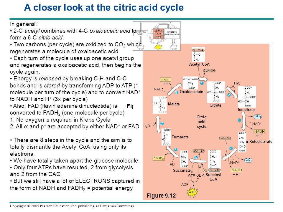 A closer look at the citric acid cycle