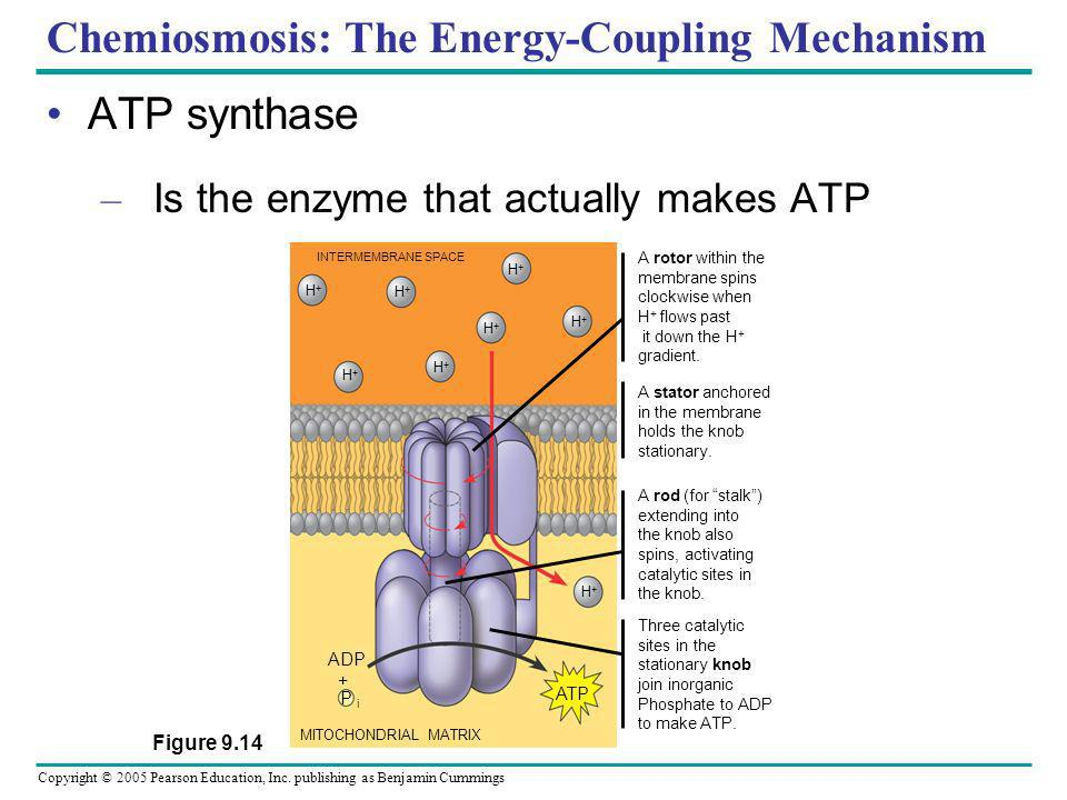 Chemiosmosis: The Energy-Coupling Mechanism