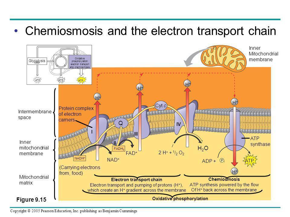 Electron transport chain Oxidative phosphorylation