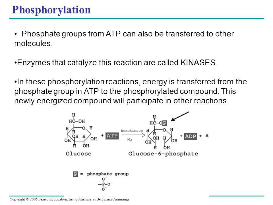 Phosphorylation Phosphate groups from ATP can also be transferred to other molecules. Enzymes that catalyze this reaction are called KINASES.