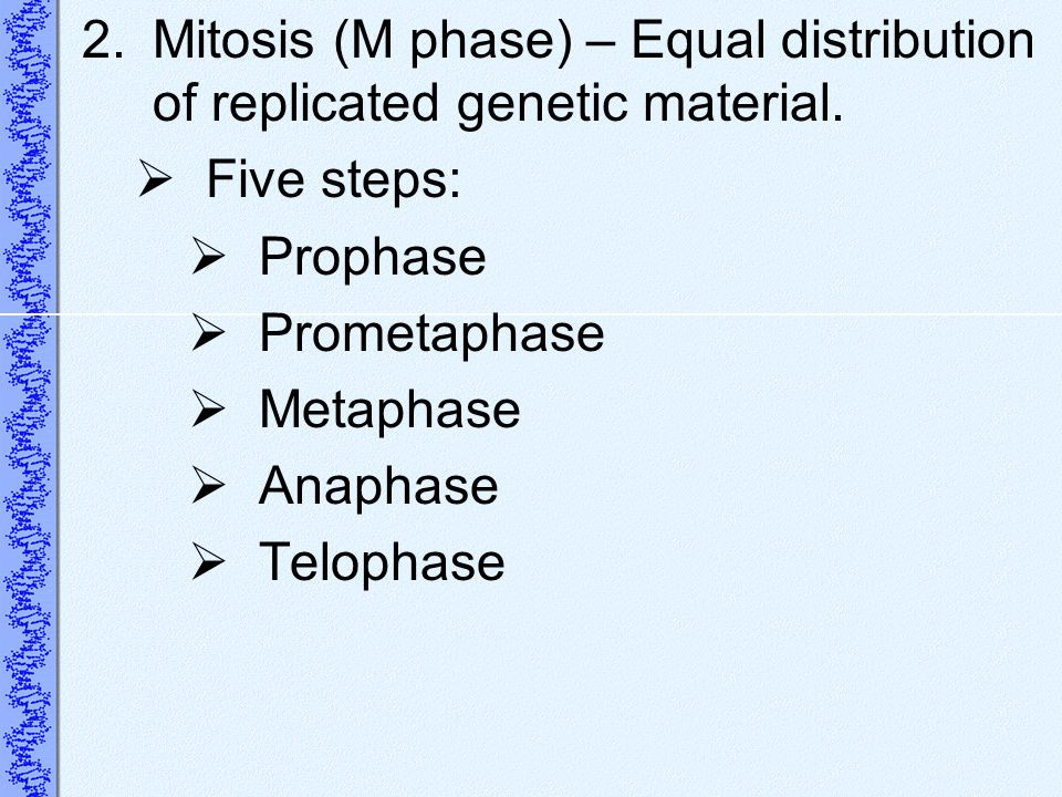 Mitosis (M phase) – Equal distribution of replicated genetic material.