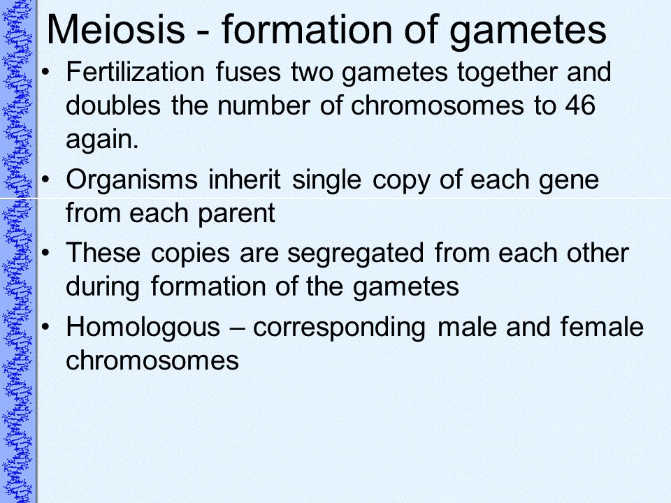 Meiosis - formation of gametes