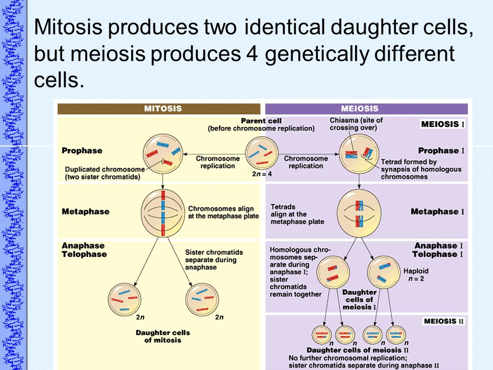 Mitosis produces two identical daughter cells, but meiosis produces 4 genetically different cells.