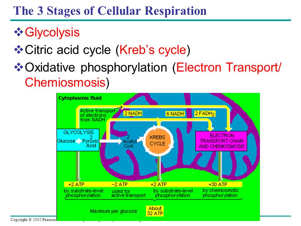 The 3 Stages of Cellular Respiration