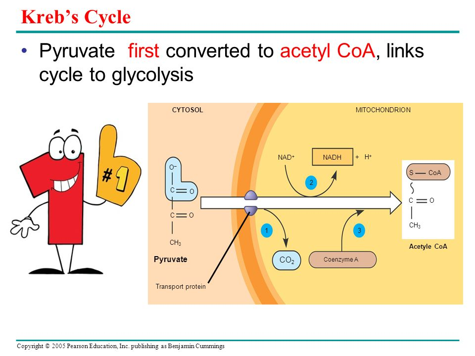 Pyruvate first converted to acetyl CoA, links cycle to glycolysis