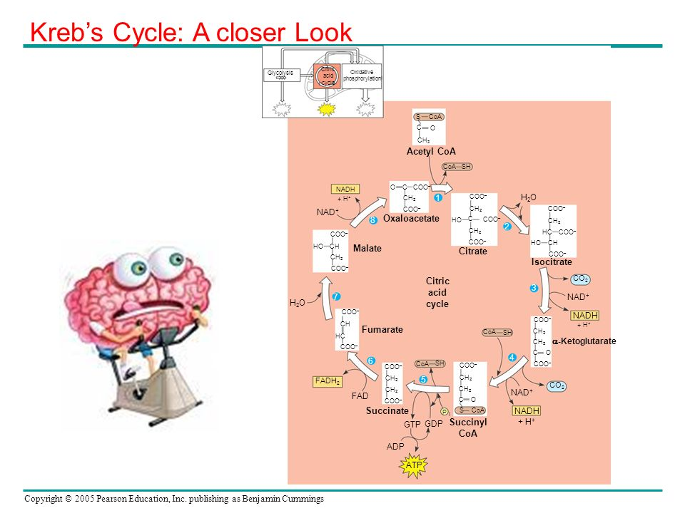 Kreb's Cycle: A closer Look