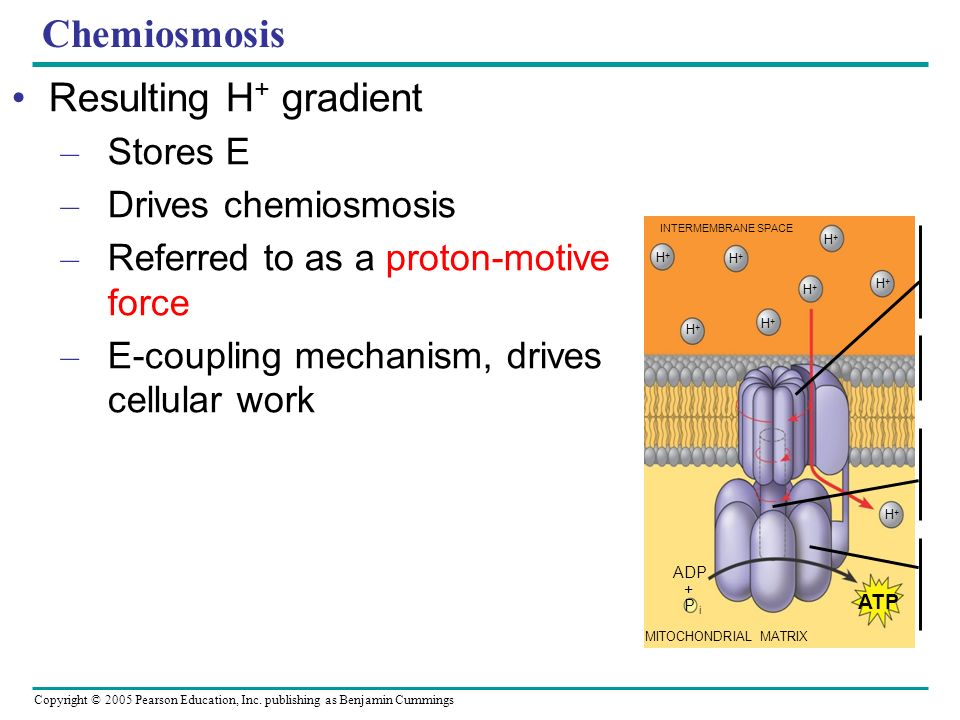 Chemiosmosis Resulting H+ gradient Stores E Drives chemiosmosis