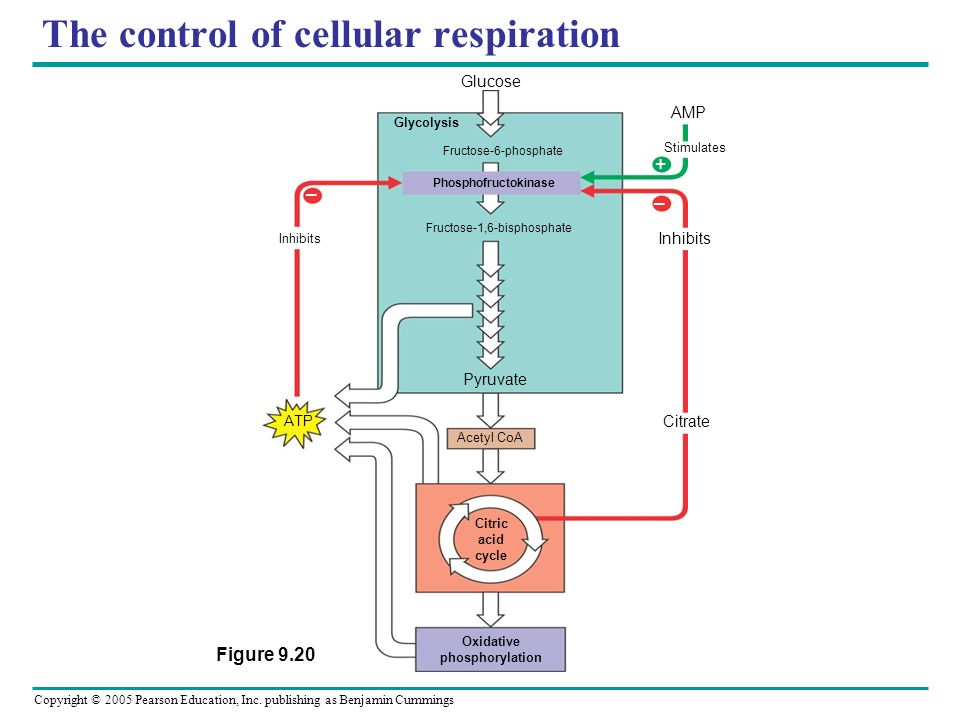 The control of cellular respiration