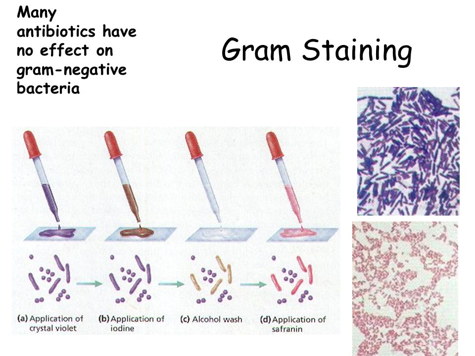 Many antibiotics have no effect on gram-negative bacteria