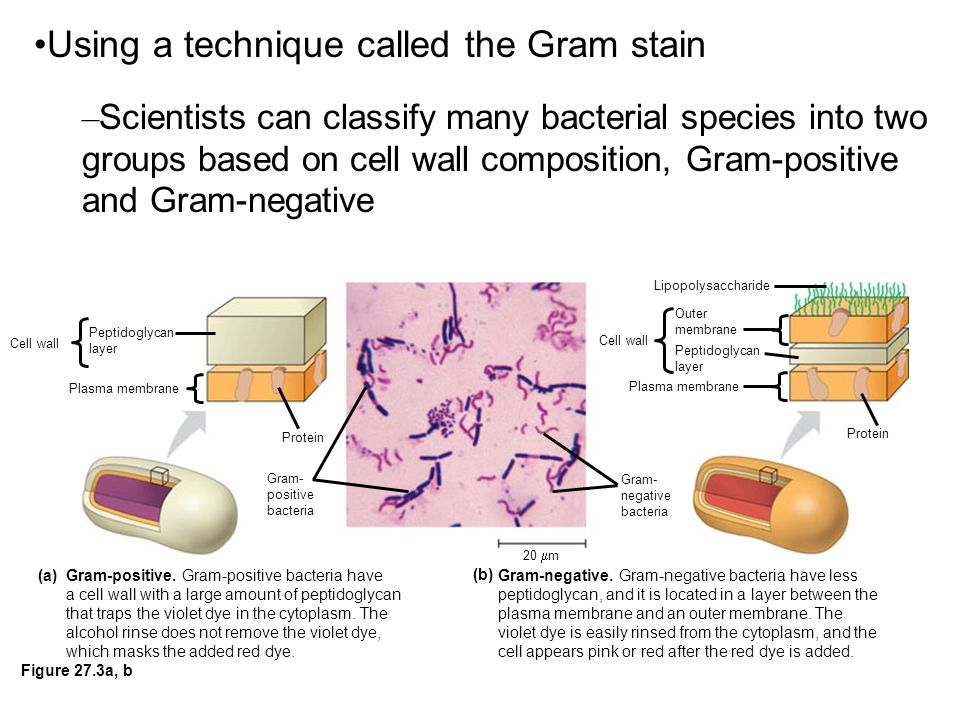 Using a technique called the Gram stain