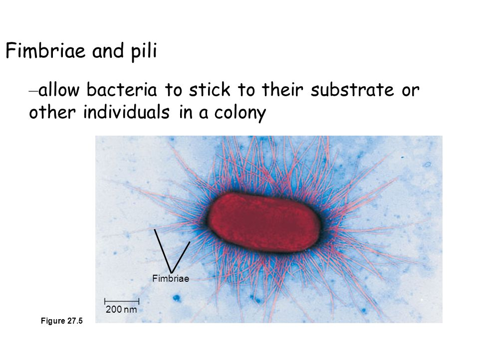 Fimbriae and pili allow bacteria to stick to their substrate or other individuals in a colony. 200 nm.