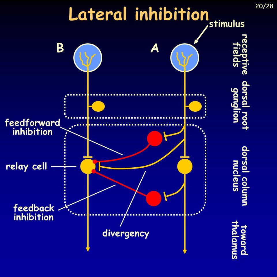 feedforward inhibition