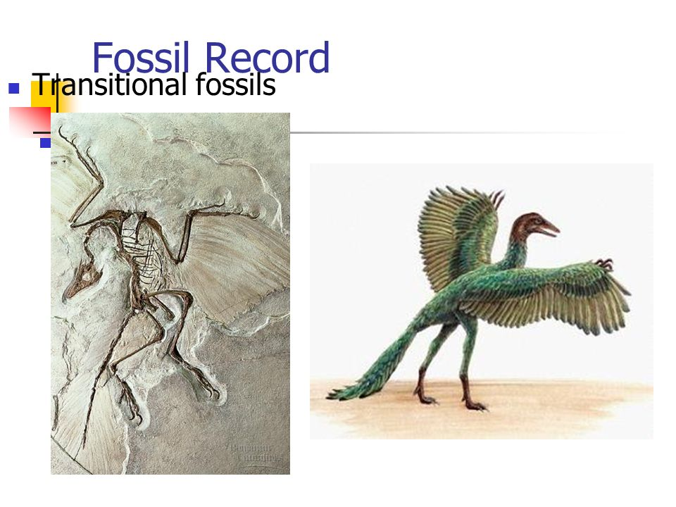 Fossil Record Transitional fossils