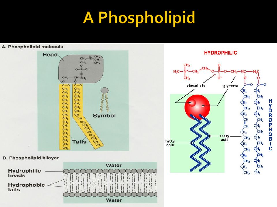 A Phospholipid
