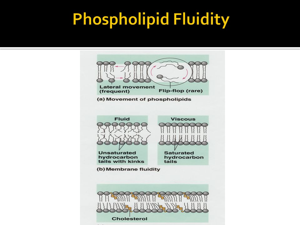 Phospholipid Fluidity