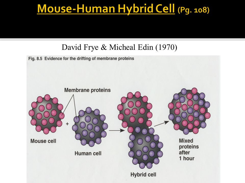 Mouse-Human Hybrid Cell (Pg. 108)