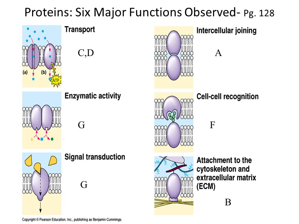 Proteins: Six Major Functions Observed- Pg. 128