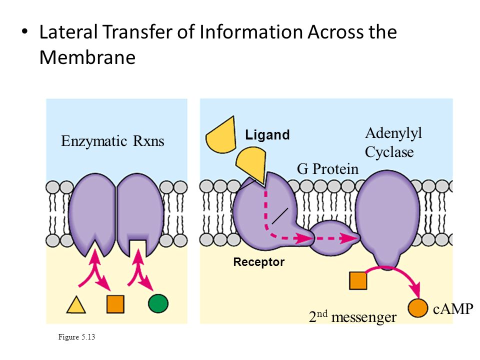 Lateral Transfer of Information Across the Membrane