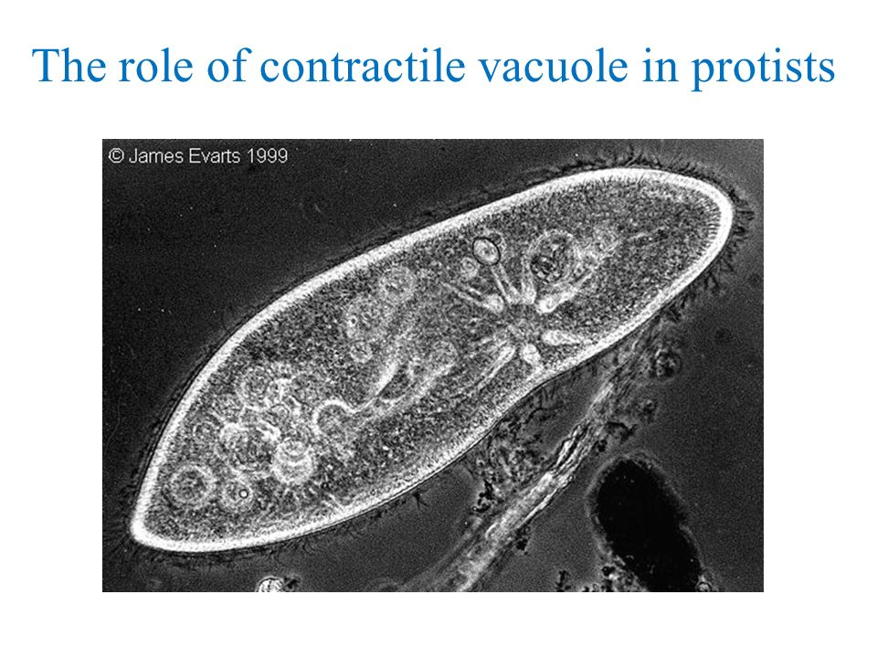 The role of contractile vacuole in protists