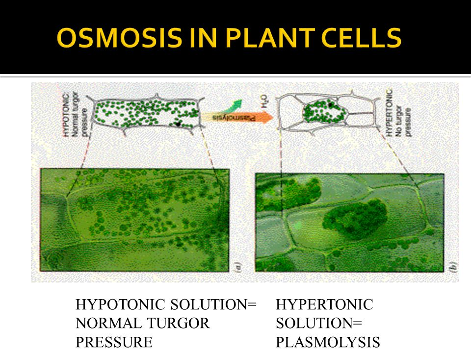 OSMOSIS IN PLANT CELLS HYPOTONIC SOLUTION= NORMAL TURGOR PRESSURE