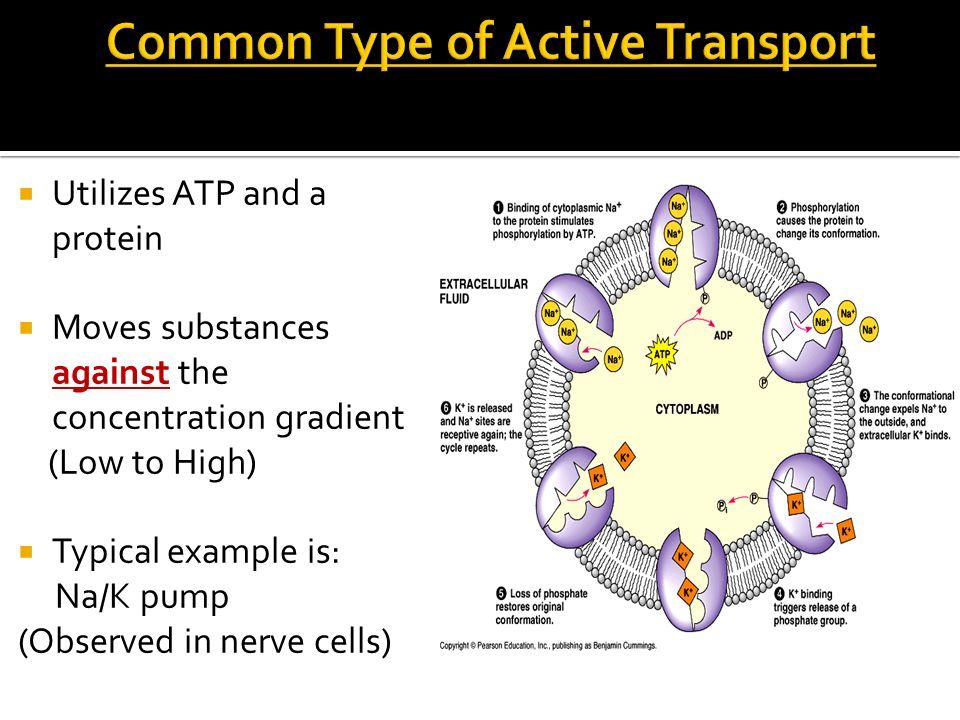 Common Type of Active Transport