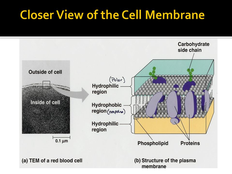 Closer View of the Cell Membrane