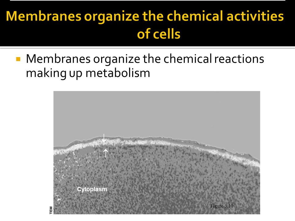 Membranes organize the chemical activities of cells