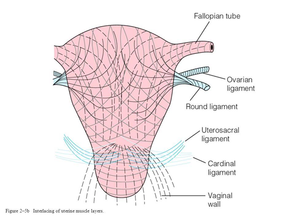 Figure 2–5b Interlacing of uterine muscle layers.