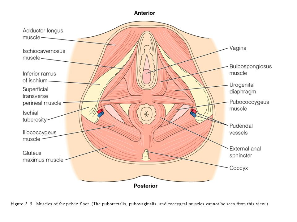 Figure 2–9 Muscles of the pelvic floor