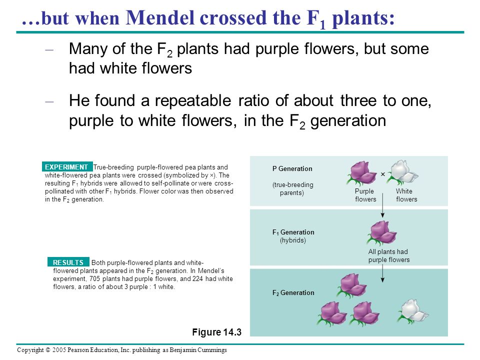 …but when Mendel crossed the F1 plants: