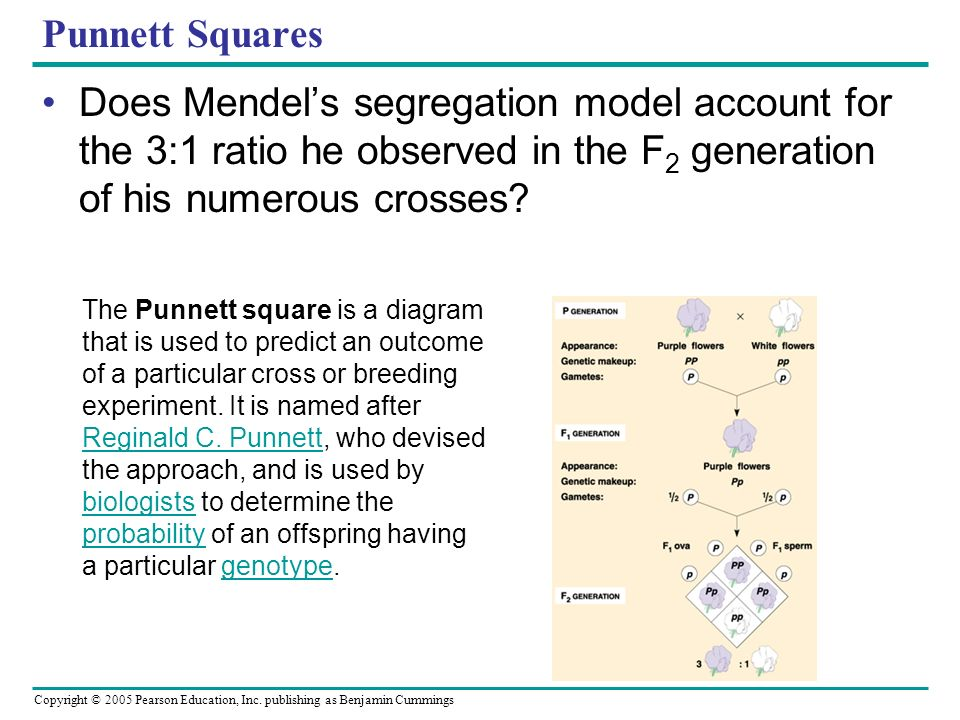 Punnett Squares Does Mendel's segregation model account for the 3:1 ratio he observed in the F2 generation of his numerous crosses