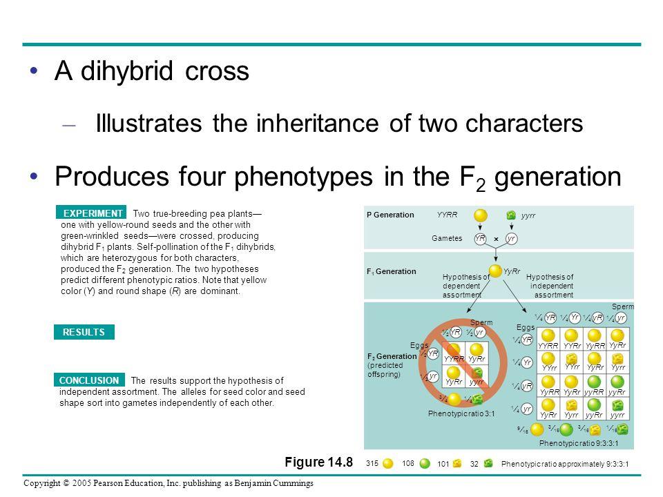 Phenotypic ratio approximately 9:3:3:1
