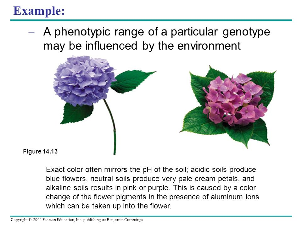 Example: A phenotypic range of a particular genotype may be influenced by the environment. Figure 14.13.
