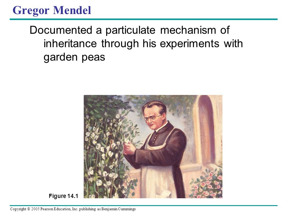 Gregor Mendel Documented a particulate mechanism of inheritance through his experiments with garden peas.