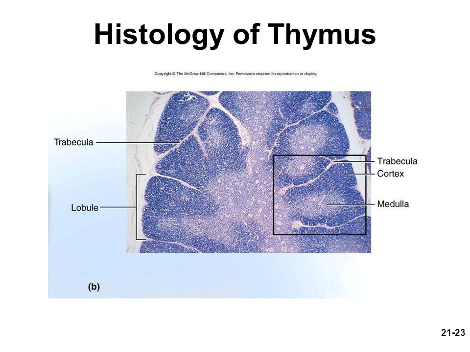 Histology of Thymus