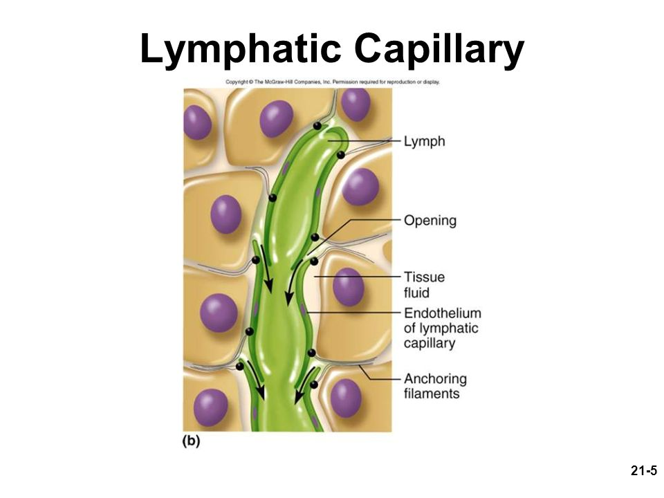 Lymphatic Capillary