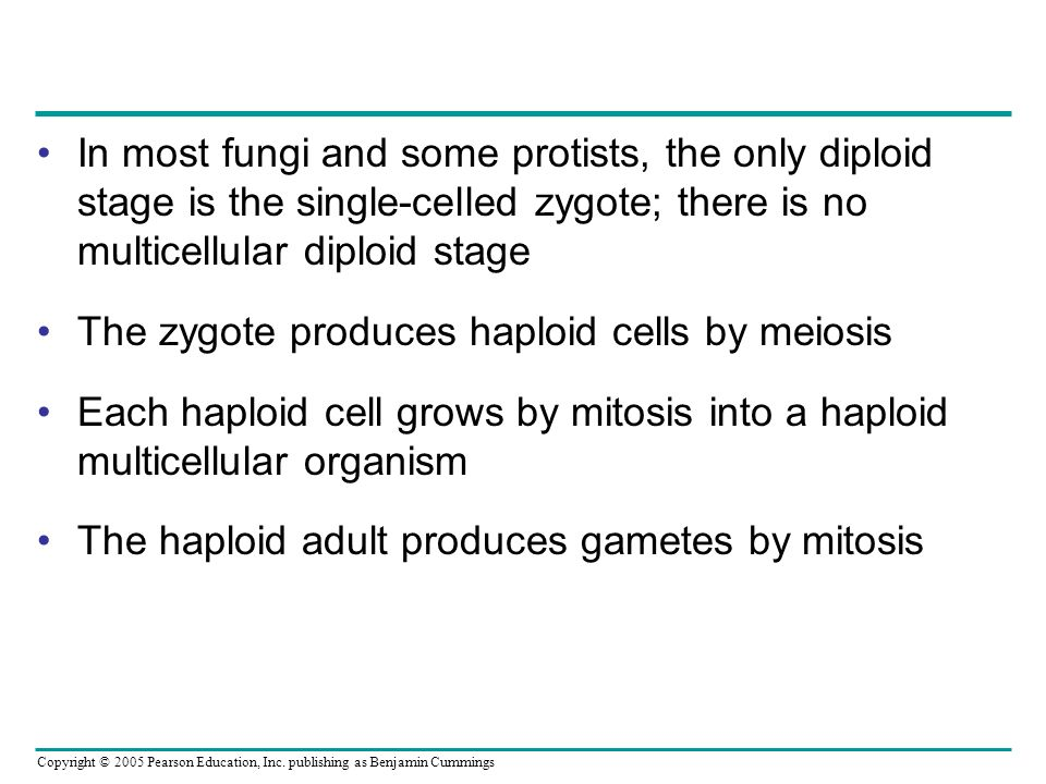In most fungi and some protists, the only diploid stage is the single-celled zygote; there is no multicellular diploid stage