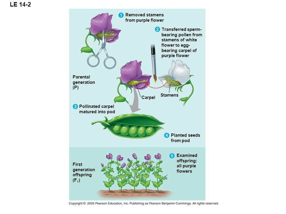 LE 14-2 Removed stamens from purple flower Transferred sperm-