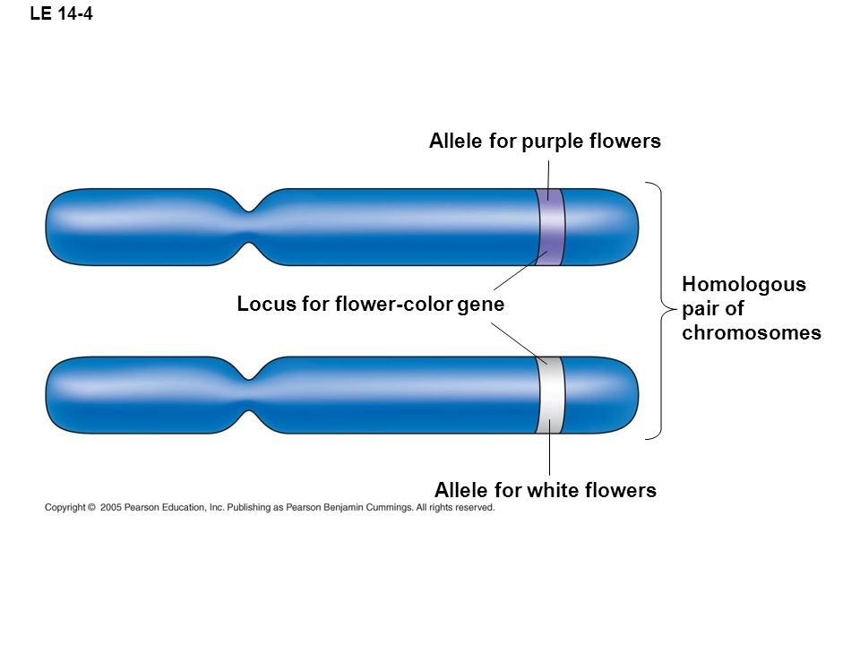 Allele for purple flowers