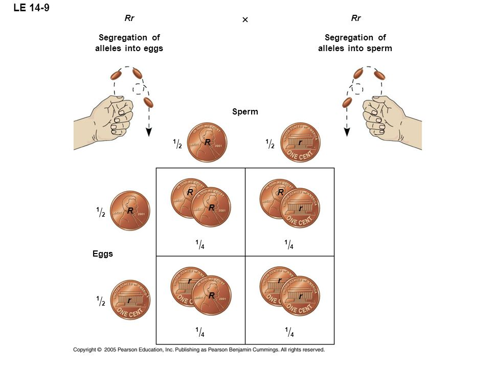 LE 14-9 Rr Rr Segregation of alleles into eggs Segregation of