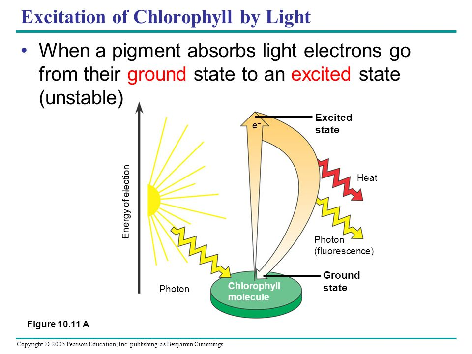 Excitation of Chlorophyll by Light