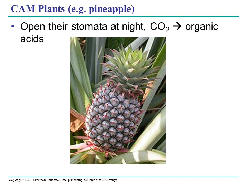 CAM Plants (e.g. pineapple)