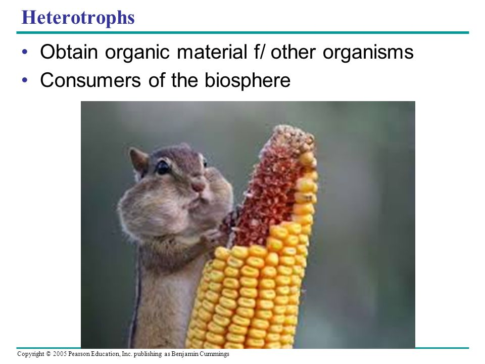 Heterotrophs Obtain organic material f/ other organisms Consumers of the biosphere