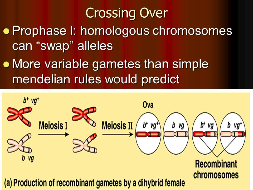 Crossing Over Prophase I: homologous chromosomes can swap alleles