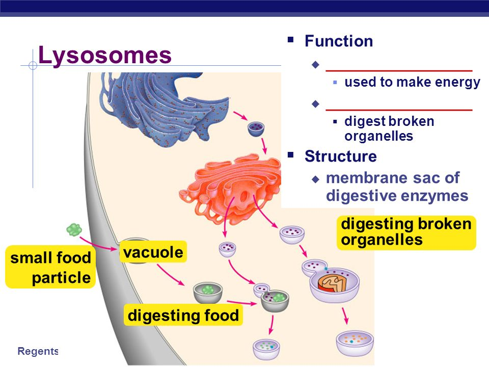 Lysosomes Function ________________ Structure