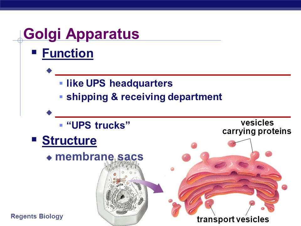 an analysis of the structure and function of the golgi apparatus in eukaryotic cells Golgi apparatus (or golgi body) is an organelle found in most eukaryotic cells the structure and function of the golgi apparatus are intimately linked.