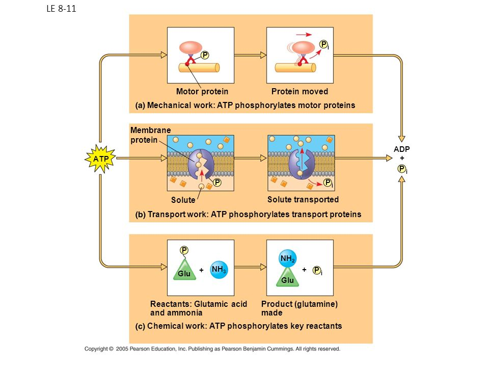 LE 8-11 Motor protein Protein moved
